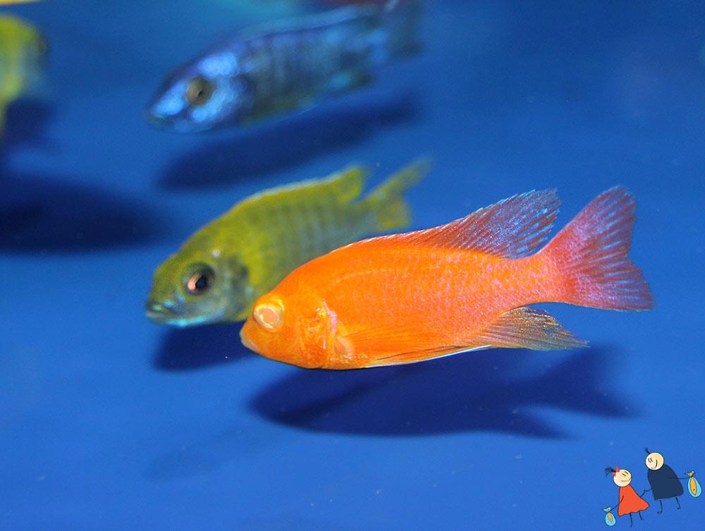Купить аквариумную рыбку оптом